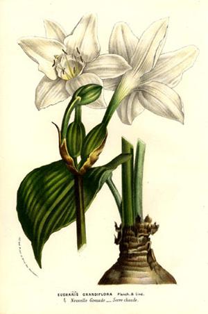 ЭУХАРИС КРУПНОЦВЕТКОВЫЙ(Eucharis grandiflora)