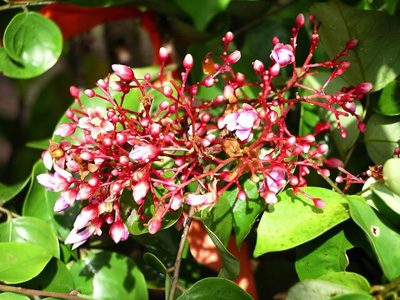 КАРАМБОЛА (Averrhoa carambola), или КАМРУХ, КАМРАК