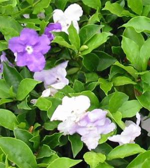 БРУНФЕЛЬСИЯ ЧАШЕВИДНАЯ ( Brunfelsia calycina)