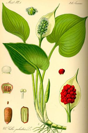 КАЛЛА (Calla) или ЗАНТЕДЕХИЯ (Zantedeschia) или БЕЛОКРЫЛЬНИК