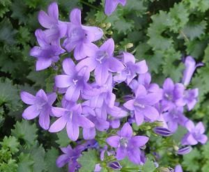 """КОЛОКОЛЬЧИК РАВНОЛИСТНЫЙ (Campanula isophylla) (""""ЖЕНИХ"""" И """"НЕВЕСТА"""")"""