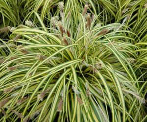 ОСОКА МОРРОУ (Carex morrowii Variegata) или ЯПОНСКАЯ ОСОКА