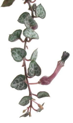ЦЕРОПЕГИЯ ВУДА (Ceropegia woodii)