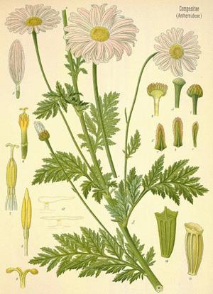 ХРИЗАНТЕМА (Chrysanthemum roseum)