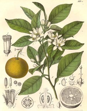 ПОМЕРАНЕЦ или ГОРЬКИЙ АПЕЛЬСИН или БИГАРАДИЯ (Citrus aurantium)