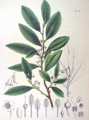 КЛЕЙЕРА ЯПОНСКАЯ (Cleyera Japonica)