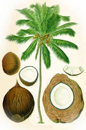 КОКОС (Сoconut / Cocos Nucifera)