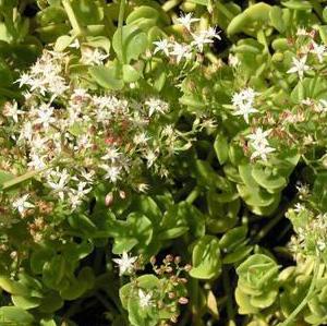ТОЛСТЯНКА ЛОПАТЧАТАЯ (Crassula spathulata)