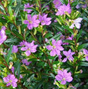 Куфея ИССОПОЛИСТНАЯ (Cuphea hyssopifolia H.B.K.)
