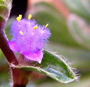 ЦИАНОТИС СОМАЛИЙСКИЙ (Cyanotis somaliensis)