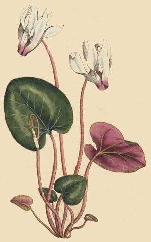 ЦИКЛАМЕН ПЕРСИДСКИЙ (Cyclamen persicum), или ДРЯКВА