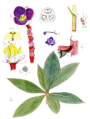ДИХОРИЗАНДРА (Dichorisandra)
