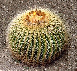 ЭХИНОКАКТУС ГРУЗОНА (Echinocactus grusonii)