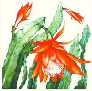 ЭПИФИЛЛУМ ГИБРИДНЫЙ (Epiphyllum hybridum)