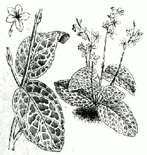 ЭРАНТЕМУМ (Eranthemum)