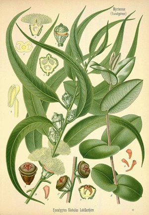 ЭВКАЛИПТ (Eucalyptus L`Her)
