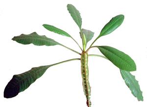 МОЛОЧАЙ БЕЛОЖИЛКОВЫЙ (Euphorbia leuconeura Boiss) (известен также как молочай ребристый)