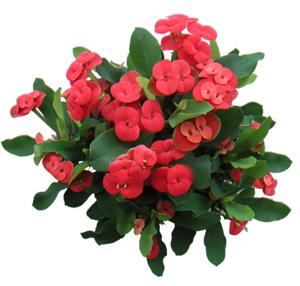 МОЛОЧАЙ МИЛЯ (Euphorbia milii) или МОЛОЧАЙ БЛЕСТЯЩИЙ