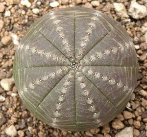 МОЛОЧАЙ ТУЧНЫЙ (Euphorbia obesa)