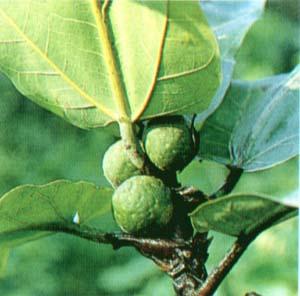 ФИКУС ЛИРОВИДНЫЙ (Ficus lyrata )