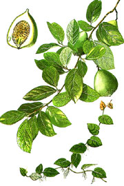ФИКУС ПОЛЗУЧИЙ (Ficus pumila)