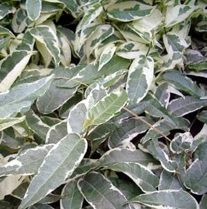 ФИКУС УКОРЕНЯЮЩИЙСЯ (Ficus radicans variegata)