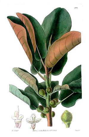 ФИКУС РЖАВОЛИСТНЫЙ (Ficus rubiginosa)
