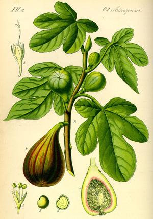 ИНЖИР (Higuera), или ВИННАЯ ЯГОДА (ФИКУС КАРИКА (Ficus carica))