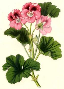 ГЕРАНЬ (Geranium)(ПЕЛАРГОНИУМ)