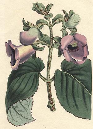 ГЛОКСИНИЯ (Gloxinia), или СИННИНГИЯ