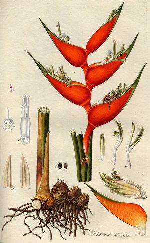 ГЕЛИКОНИЯ (Heliconia)