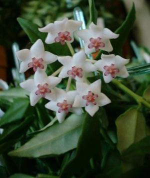 ХОЙЯ КРАСИВАЯ, или ВОСКОВИК (Hoya bella)