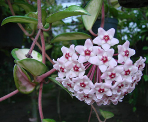 ХОЙЯ МЯСИСТАЯ, или ПЛЮЩ ВОСКОВОЙ (Hoya carnosa)
