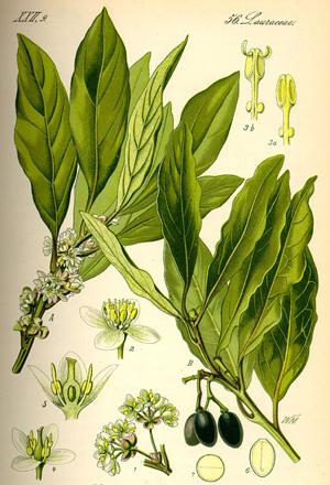 ЛАВР БЛАГОРОДНЫЙ (Laurus nobilis)