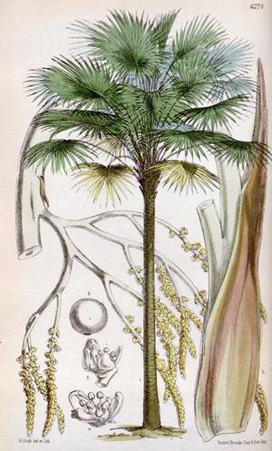 ЛИВИСТОНА (ЛАТАНИЯ) АВСТРАЛИЙСКАЯ (Livistona australis)