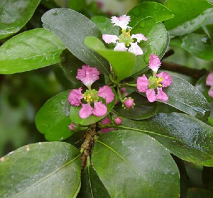 МАЛЬПИГИЯ (Malpighia oxycocca)