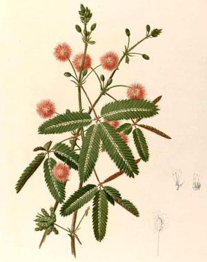 МИМОЗА (Mimosa )