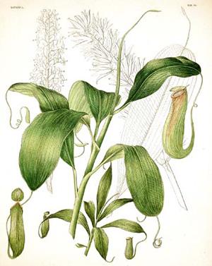 НЕПЕНТЕС (мухоловка) (Nepenthes destillatoria)