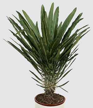 ПАХИПОДИУМ (Pachypodium)