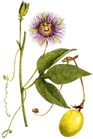 ПАССИФЛОРА (Passiflora) или СТРАСТОЦВЕТ