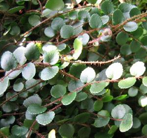 ПЕЛЛЕЯ КРУГЛОЛИСТНАЯ(Pellaea rotundifolia)