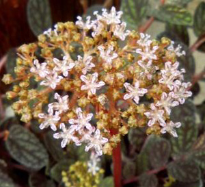 Ампельные или вьющиеся комнатные растения