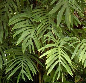ФИЛОДЕНДРОН ИЗЯЩНЫЙ (Philodendron elegans)