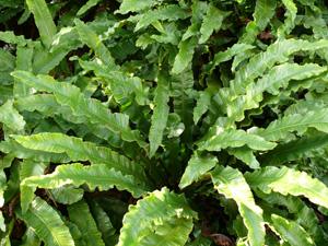 ФИЛЛИТИС СКОЛОПЕНДРОВЫЙ (Phyllitis scolopendrium) (ЛИСТОВИК)