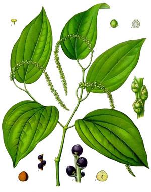 ПЕРЕЦ УКРАШЕННЫЙ (Piper ornatum)