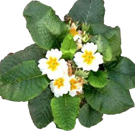 ПРИМУЛА БЕССТЕБЕЛЬНАЯ (Primula acaulis)