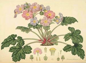 ПРИМУЛА КИТАЙСКАЯ (Primula sinensis)