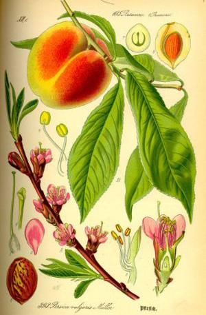 ПЕРСИК ОБЫКНОВЕННЫЙ Prunus persica (L.) Batsch (syn. Persica vulgaris Mill.)