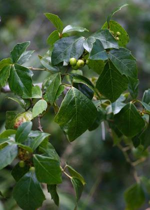 ЦИССУС РОМБОЛИСТНЫЙ (Cissus rhombipholia) или Роициссус (Rhoicissus rhomboidea)