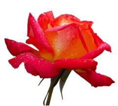 РОЗА (Rose)